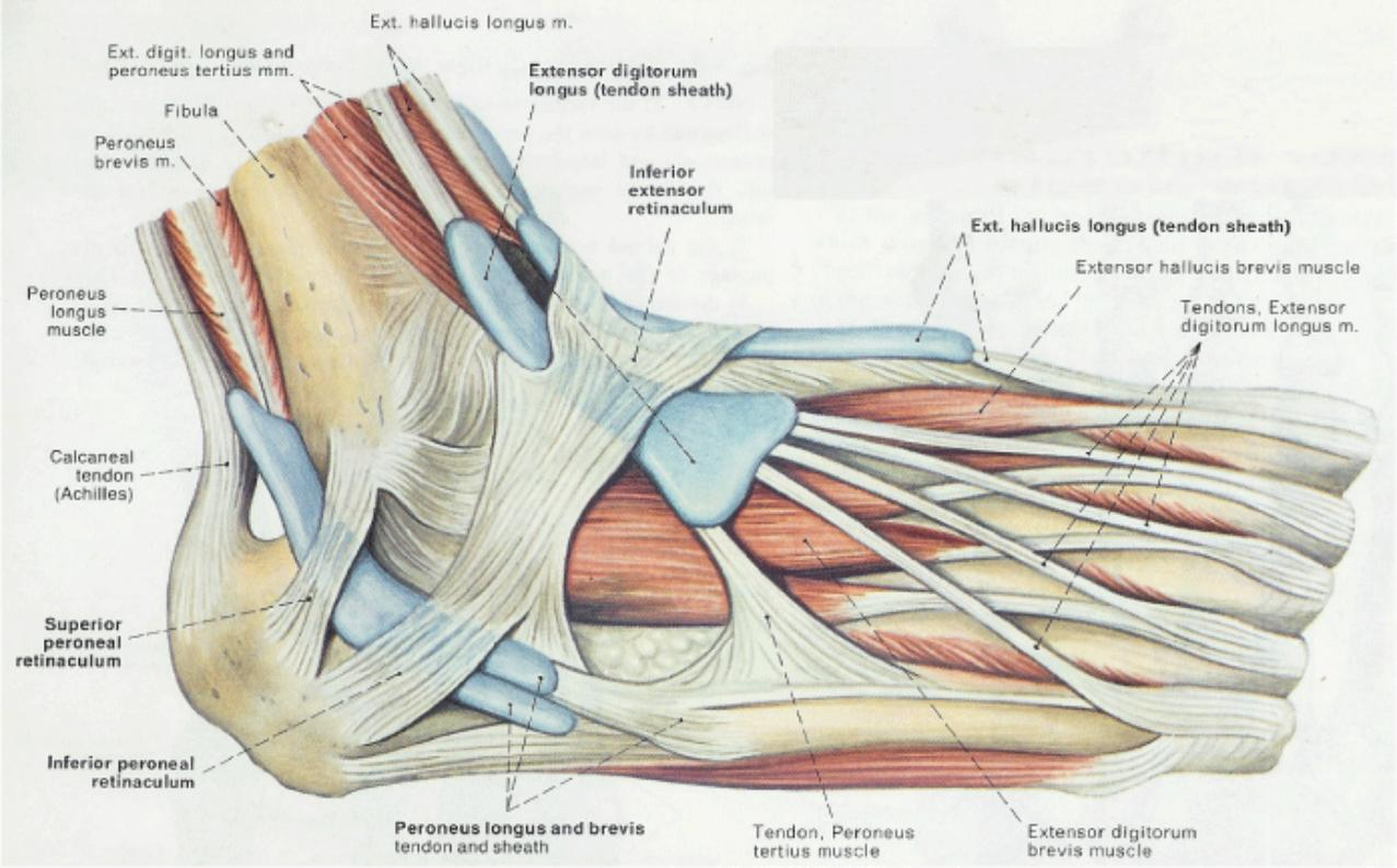 Ankle anatomy tendons