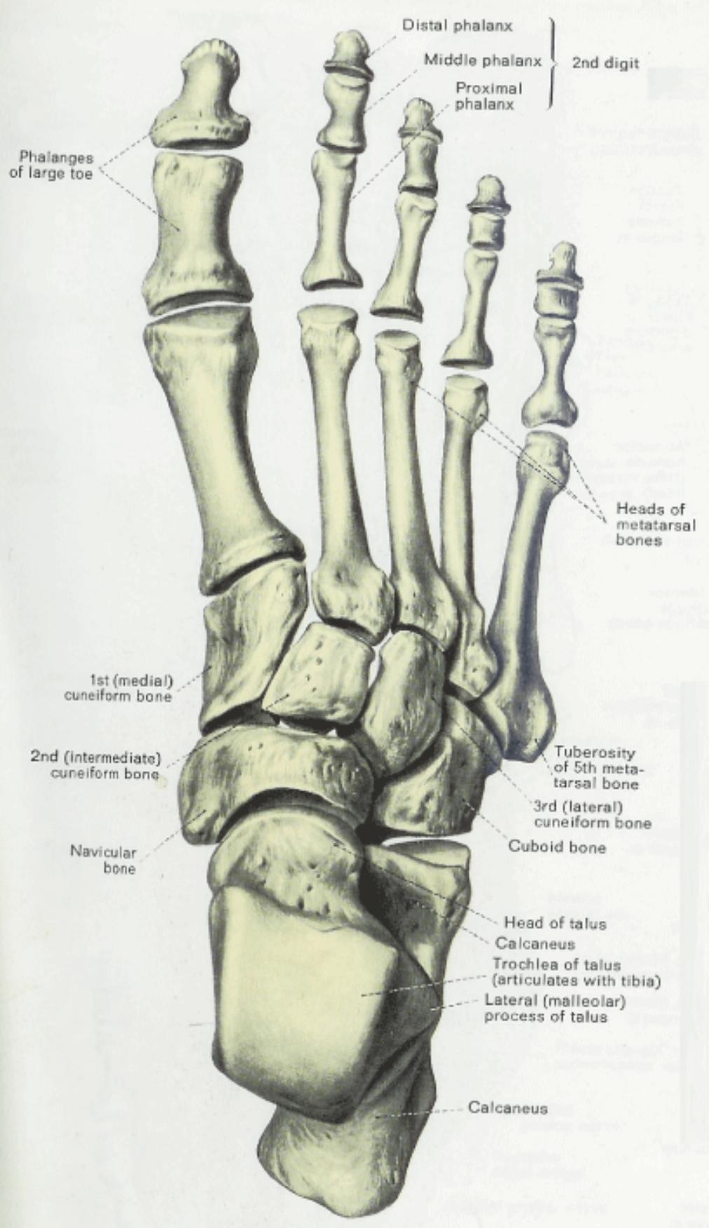 Anatomy  U0026 Physiology Illustration