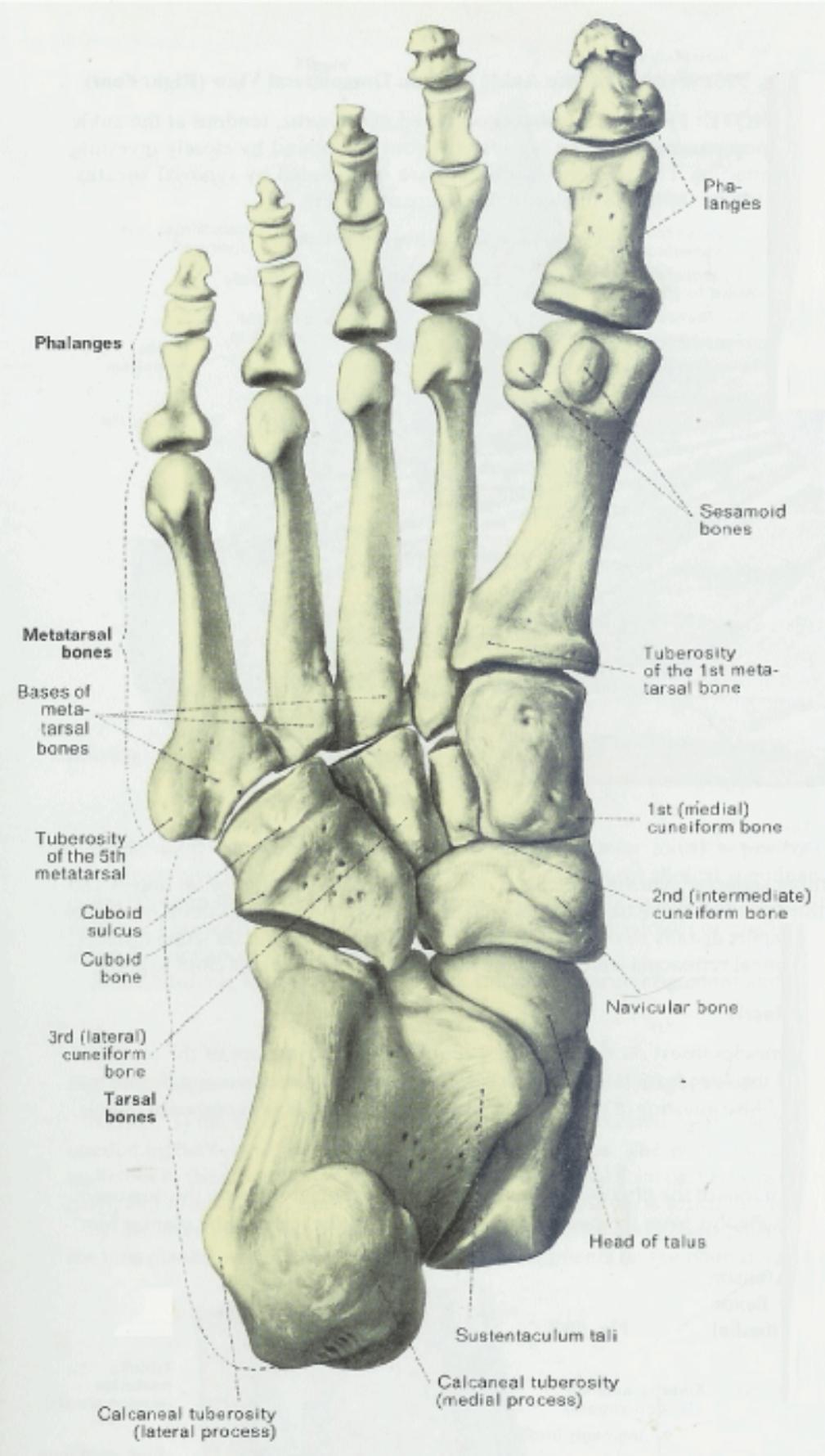 Human skeleton foot - photo#19