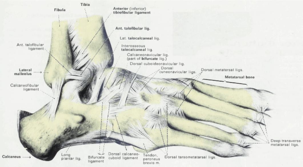 Dorsal calcaneocuboid ligament