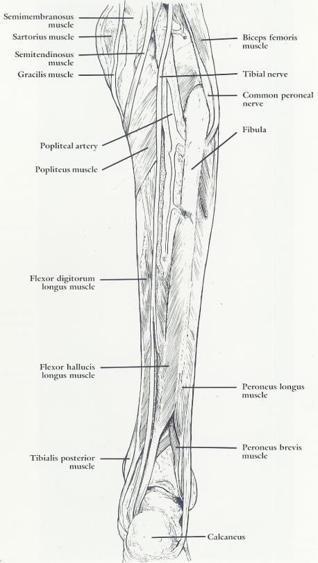 gross anatomy muscles of the posterior lower leg plantar