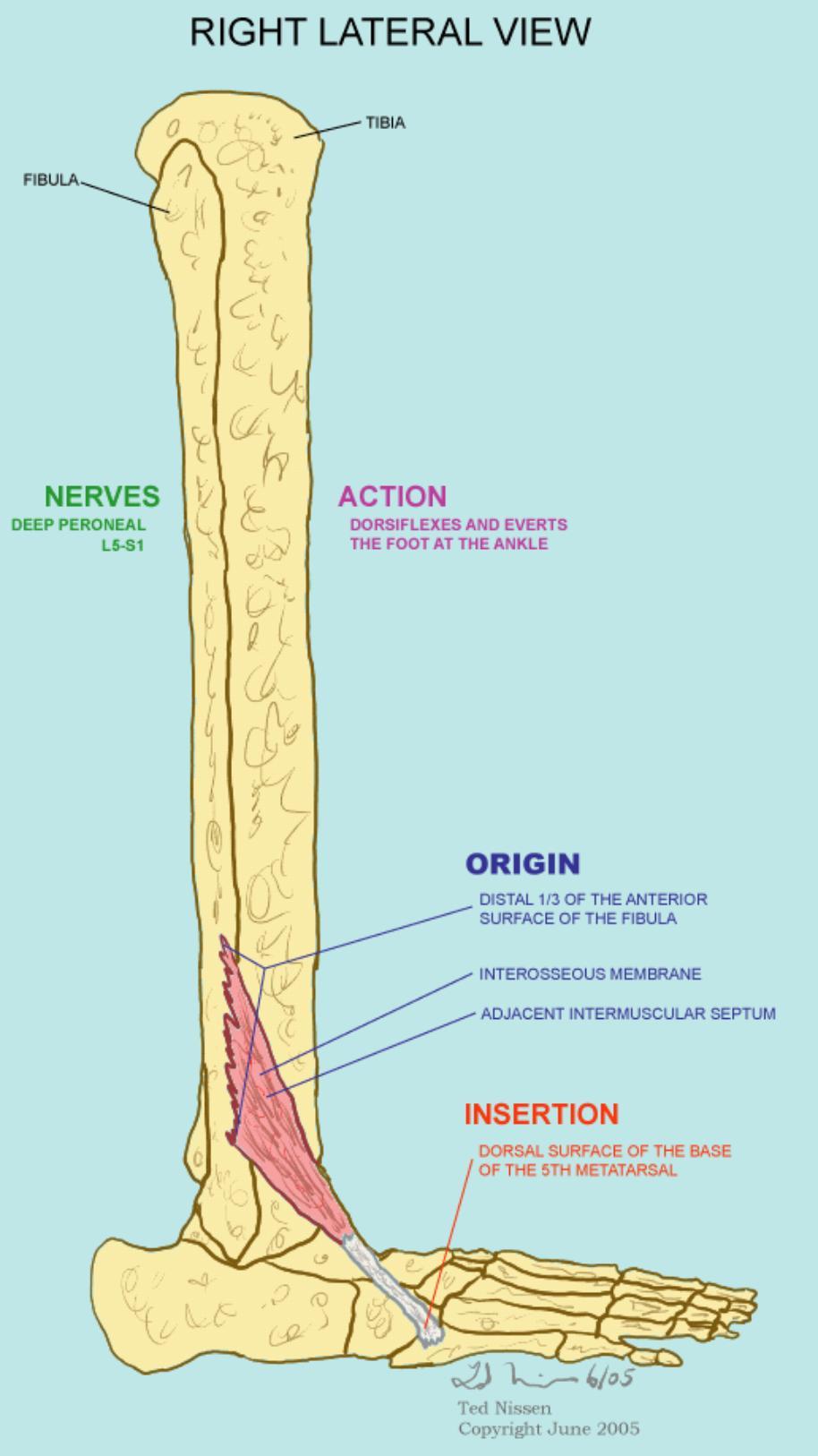 Musculus peroneus tertius || Med-koM