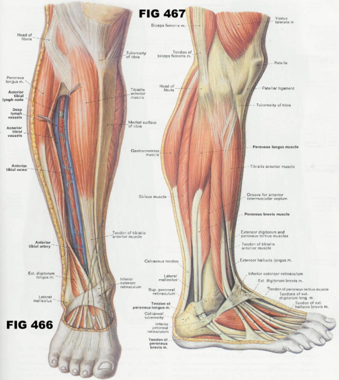 Muscular anatomy pooptronica Image collections