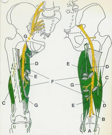 N ischiadicus anatomy