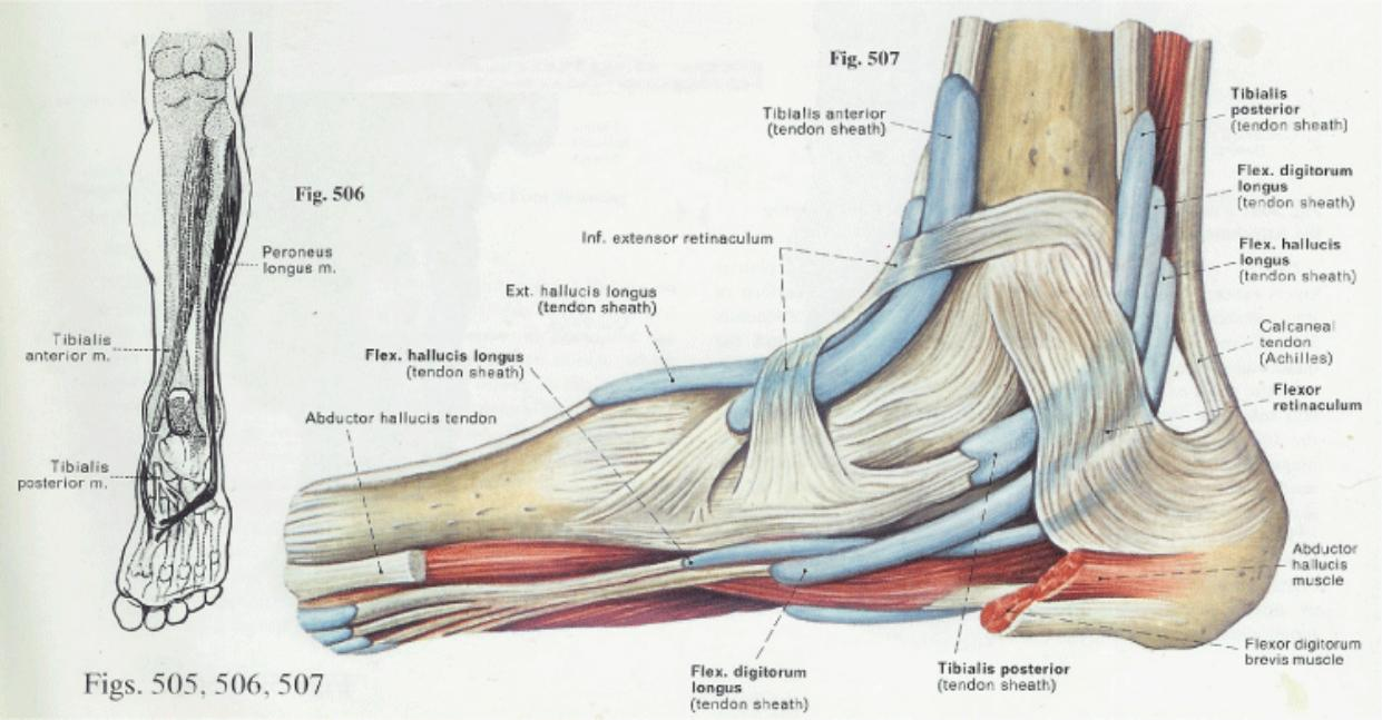 Medial Ankle Muscles - 93.8KB