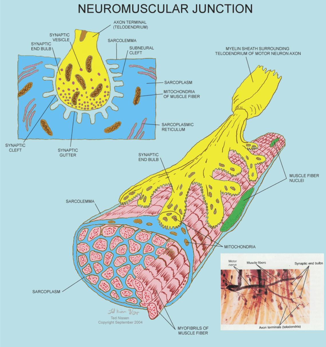 Anatomy Physiology Illustration
